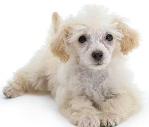 Maltipoo Puppies – Yorkiepoo | Morkiepoo | Maltipoo | Morkie puppies