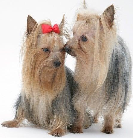 Yorkiepoo | Morkiepoo | Maltipoo | Morkie puppies For Sale – Only
