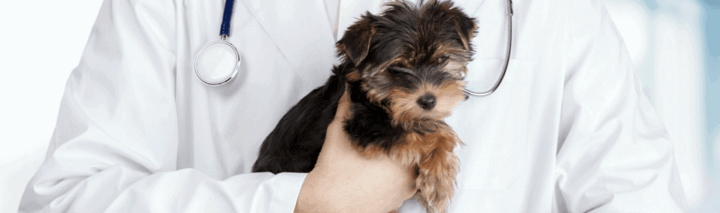 Yorkiepoo | Morkiepoo | Maltipoo | Morkie puppies For Sale – Only